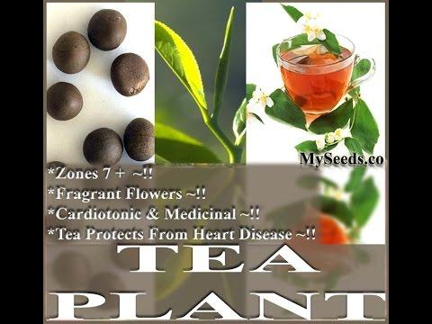 Tea Plant, Green Red Black Tea - Camellia sinensis SEEDS on  www.MySeeds.Co