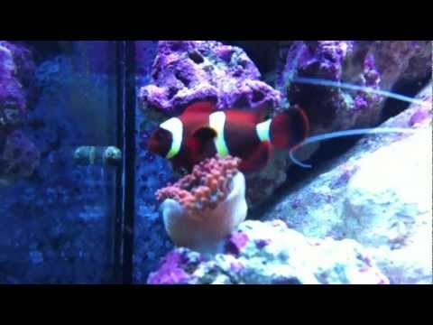 Documenting The Bonding Of A Clownfish And Anemone: The Beginning