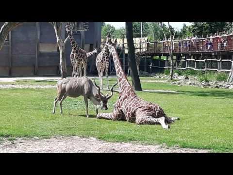 Koedoe valt Giraffe aan in Blijdorp