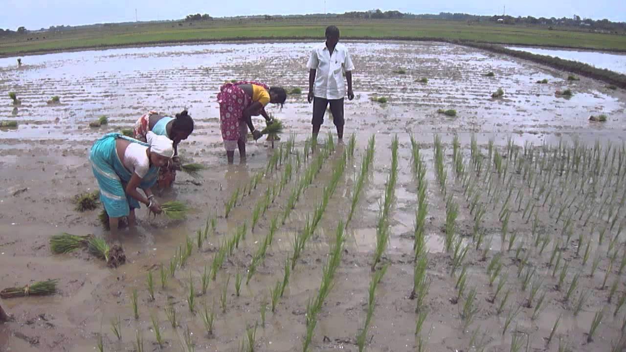 Image result for direct sowing of paddy trichy