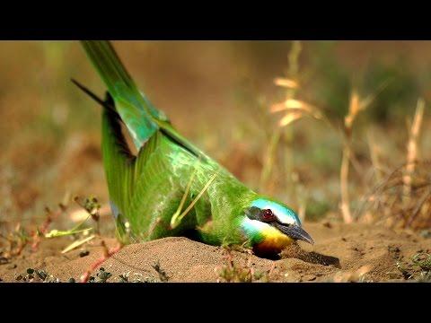 Зеленая щурка - землекоп. Blue-cheeked Bee-eater - Digger.