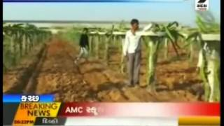 Dragon Fruit Cultivation In 20 Acres Of Land, Kutch. Farmers Earn Millions