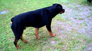 2 Year Old Rottweiler Stalking