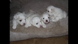Coton Puppies For Sale - Emma 7/28/20