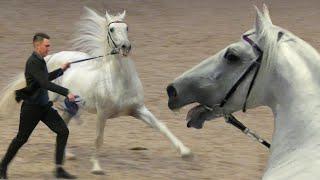 ОРЛОВСКИЙ РЫСАК самая знаменитая РУССКАЯ порода! Ринг Рысаки России Выставка лошадей #ИППОсфера 2019