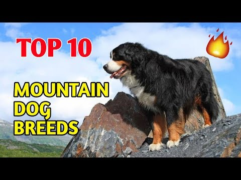 TOP 10 MOUNTAIN DOG BREEDS / Top 10 Dogs / Mountain Dog Breeds