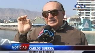 Peligros de la medusa Fragata Portuguesa /Antofagasta Televisión Noticias