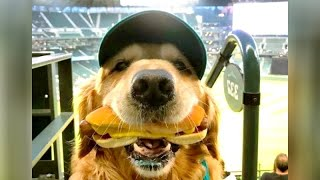 Funniest GOLDEN RETRIEVERS and much more  LAUGHING GUARANTEED!