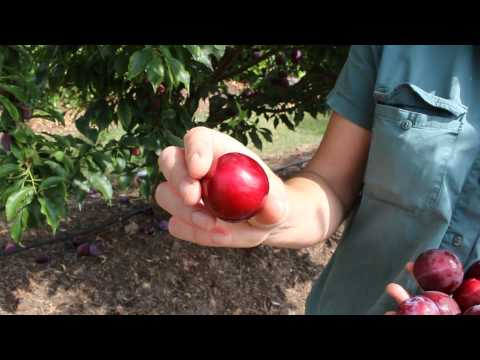Plum Gulf Ruby Plum & YES It Grows In Warmer Climates Being Low Chill. Easy Cross Pollination