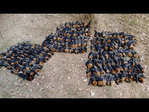 Punishing Temperatures In Australia Leave Hundreds Of Flying Foxes Dead