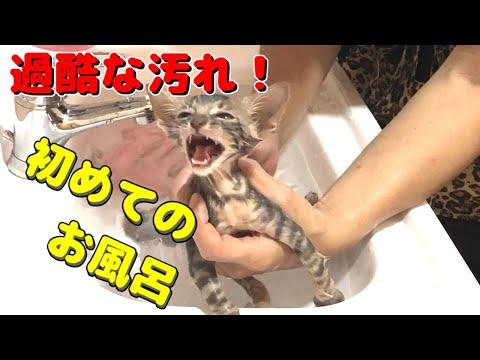 【ノミだらけ】子猫のはじめてのお風呂がかわいい♪ヤマネコの血を引く子猫のやまと