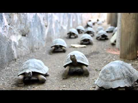 baby giant tortoises marching