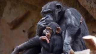 Tschaikowsky Walzer + Schimpansen, Tchaikovsky Waltz op 39, 8 Children