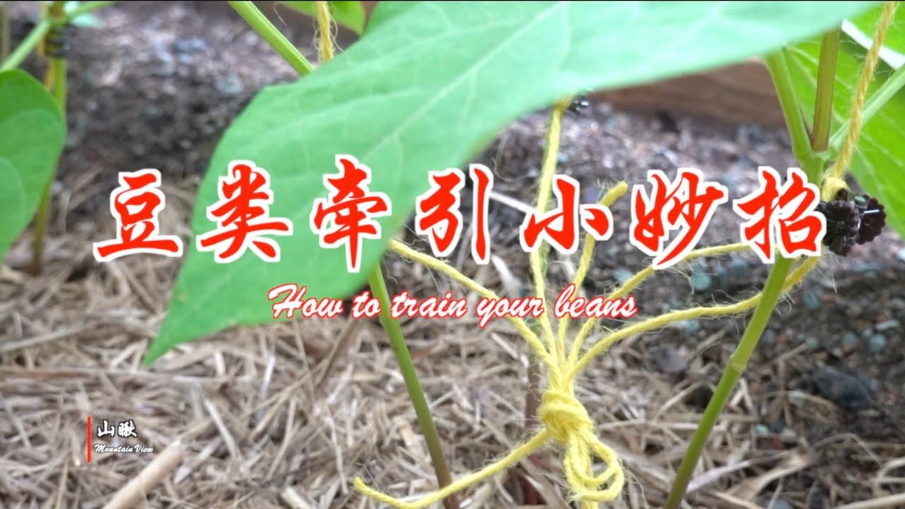 豆类牵引小妙招(第59期) How to train your beans (Ep59)