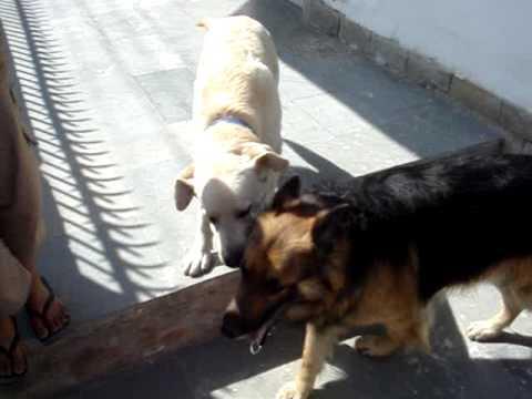 Labrador vs German Shepherd - Height of Energy and Patience