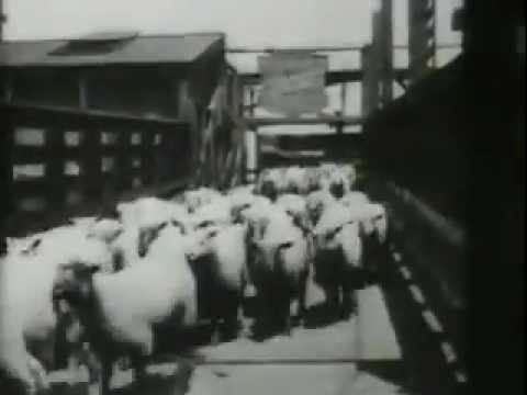 Sheep Run, Chicago Stockyards 1897