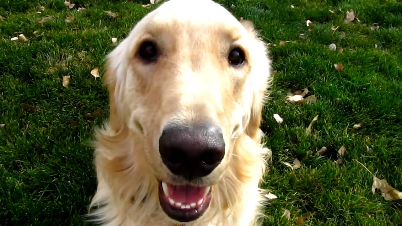 Loveable Golden Retriever Playing Barking And Having Fun Youtube