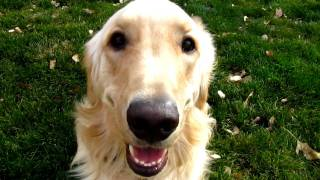 Loveable!! Golden Retriever Playing, Barking And Having Fun!