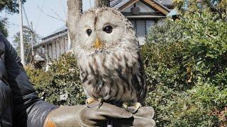 今回ご紹介するふくろうは…「フクロウ」! そう、日本でよく見られる種...