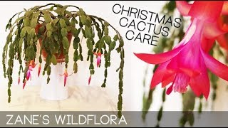 HOW TO CARE FOR CHRISTMAS CACTUS