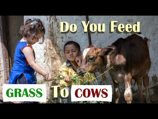 Do you feed grass to cows outside temples