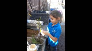 Planting milkweed for monarch conservation.