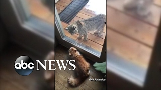Cat Guards Home From Bobcat