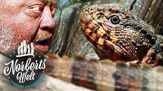 SEHR SELTENES TIER DER NATUR ENTNOMMEN! | DIE KROKODILECHSE | NORBERTS WELT | Zoo Zajac