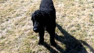 A Standard Poodle That Is Being Bad And Getting Exercise
