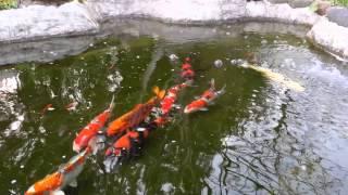 我が家の自作池の錦鯉です。撮影日:2014年4月12日。 池は素人でも簡単...