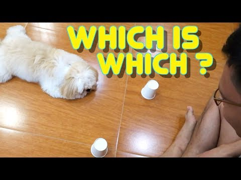 Smart Shih tzu Puppy Plays Shell Game for the First Time.