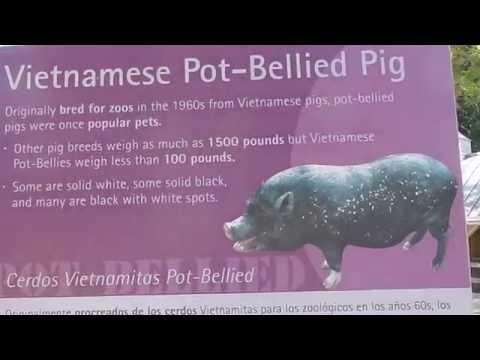 Santa Ana Zoo: Pig