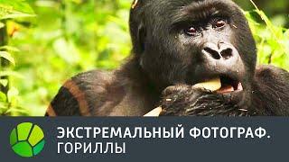 Гориллы  Экстремальный фотограф
