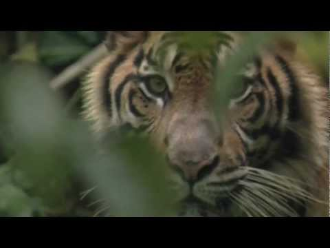 Protecting Indonesia's ancient rainforest and the Sumatran tiger