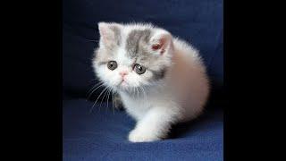Шанита - экзотический короткошерстный котенок