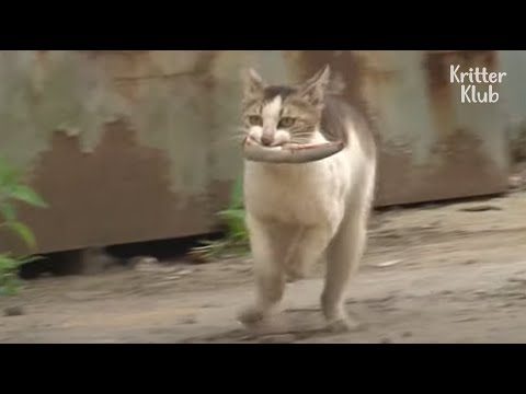 Download Mother Cat Endures Appalling Pain From A Leg Injury To Carry Fish To Kittens   Kritter Klub