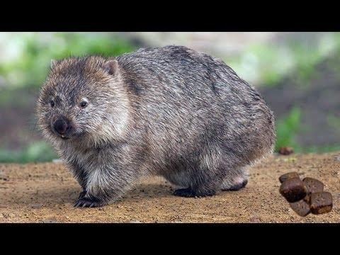 Los Wombats son una familia de marsupiales que solo los puedes encontrar en Australia, incluida Tasmania. Se cree que el motivo por el que hacen las heces cúbicas es porque las depositan en zonas elevadas con fuertes pendientes. Si fueran redondas rodarían montaña abajo y no podrían cumplir su función primordial, la de marcar su territorio. De ello depende su supervivencia. Estos adorables animalillos puede que pronto solo los veamos en libros y vídeos de internet porque están en peligro de extinción.