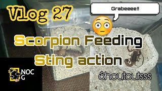 Vlog 27 Scorpions Feeding | Sting Action (Shoutouts)