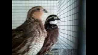 CALL BOB WHITE FEMALE QUAIL