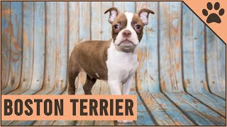 Boston Terrier  Dog Breed Information