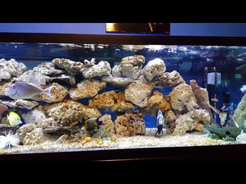 Fish Tank Diaries - Niger Trigger & Dogface Puffer Introduction - 08-11-16 Thursday