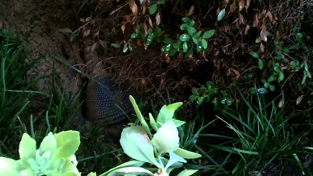 how to stop armadillos from digging in yard