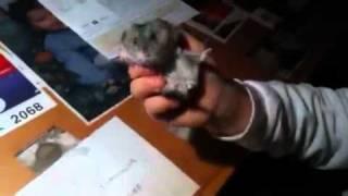 Hamsters rock.
