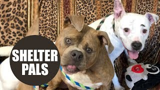 Sweet dog with permanently twisted neck finds three-legged soul mate in animal shelter
