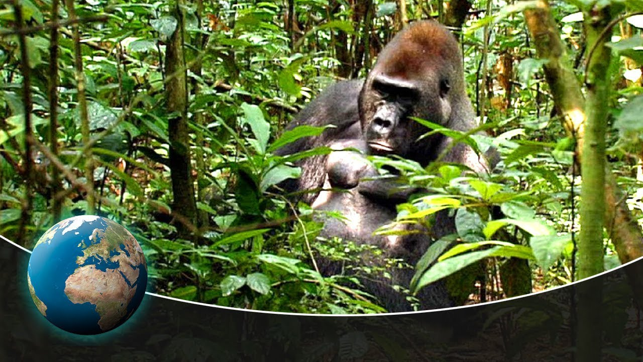 Download Gorillas - Kings of the jungle
