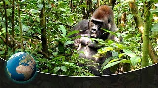 Gorillas  Kings of the jungle