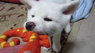 おもちゃを捕獲して飼い主に戦いを挑むゆうき、絶対に負けられないとこ...