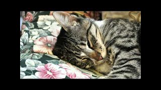 🎧 Purring Cat Sound For Relaxation - Cats Purr Sounds & Fireplace Crackling