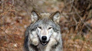 Живая природа Волки