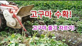 [고구마재배] 고구마 수확, 줄기파쇄기